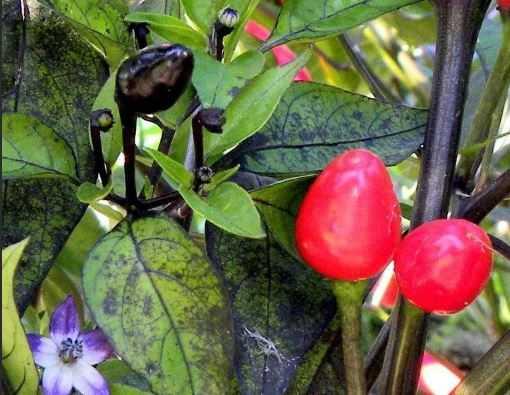Кубинский черный перец /Black Cuban Pepper